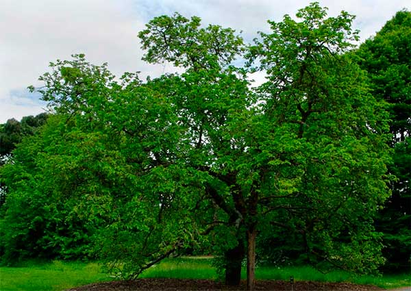 дерево тутовника
