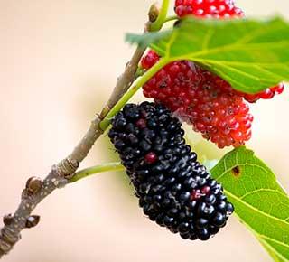 плоды тутовника на веточке