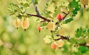 ягодный куст