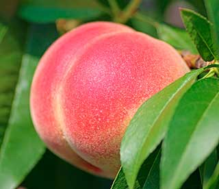 плод на ветке
