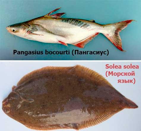 пангасиус и морской язык