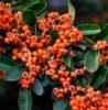 Польза и вред ягод боярышника, что можно из них приготовить на зиму