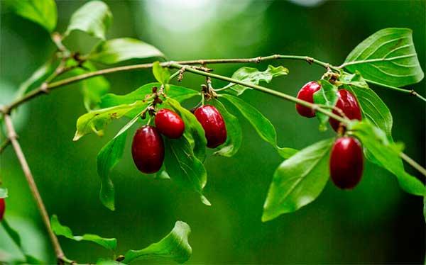 ягодки на веточке