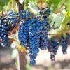 Чем полезен виноград для организма человека и как его есть правильно
