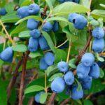 ягоды синей жимолости