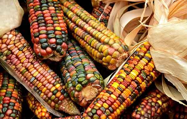 разноцветная кукузура