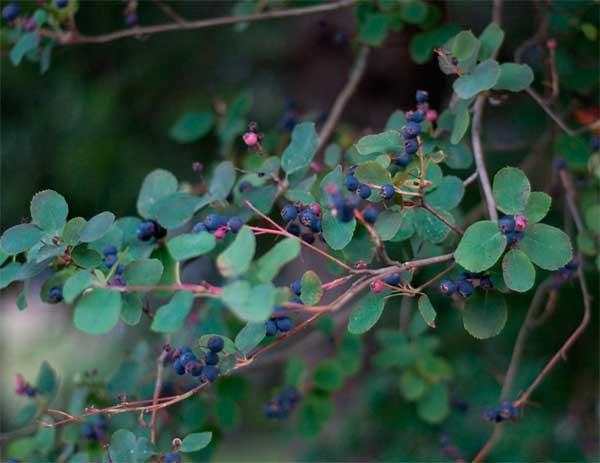 плоды Amelánchier на ветке