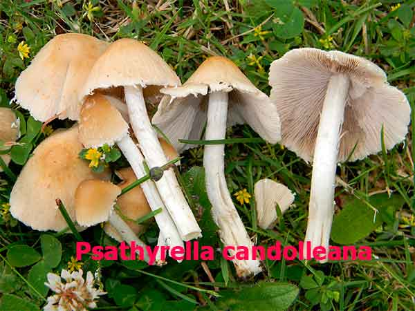 Psathyrella candolleana