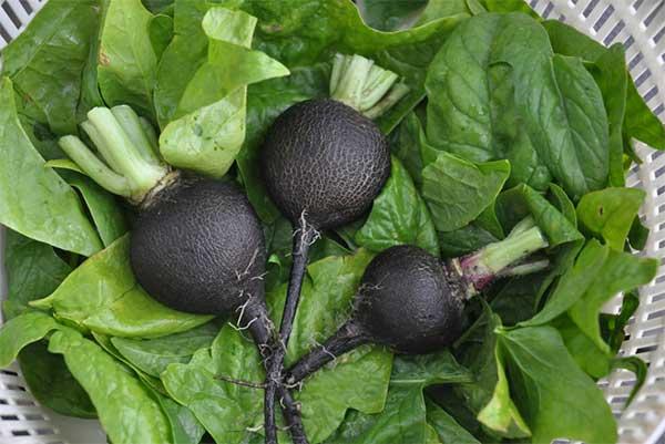 черная редиска с листвой