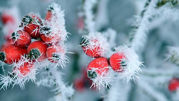 зимние ягодки