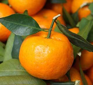 мандарин на веточке