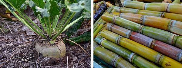 сахарный тростник и свекла