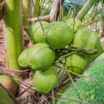 кокосы на ветке
