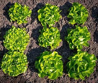 пучки салата латук разных видов