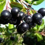 ягоды черноплодной рябины на ветке
