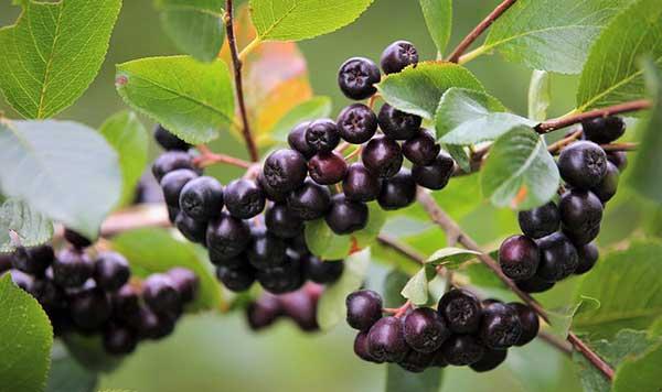 гроздья черноплодной рябины