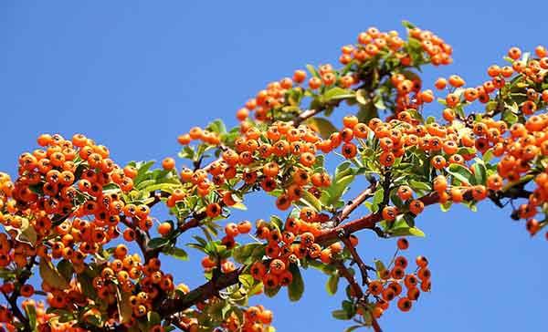 ягоды облепихи на фоне неба