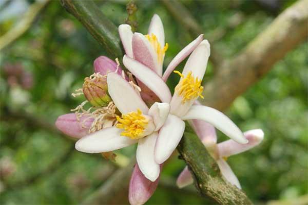 цветки Citrus bergamia