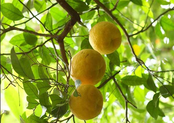 плоды бергамота на ветке