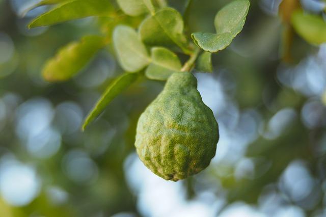 плод Citrus bergamia
