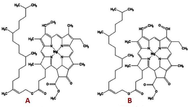хлорофиллы А и В типов